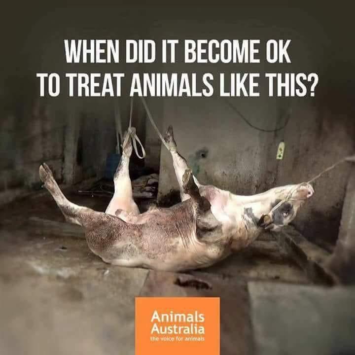 Animals Australia-Hängende Kuh_n