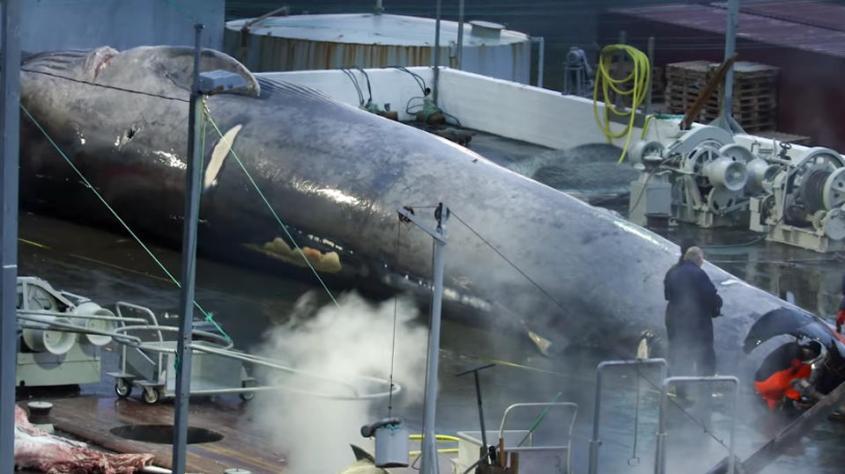 blauwal-vor-island-getoetet-und-geschlachtet-trotz-verbot
