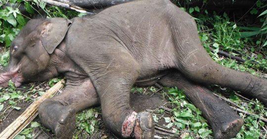 elefant in Falle