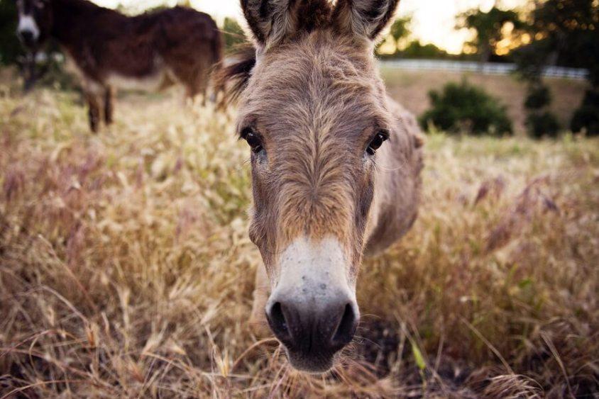 Esel in Jordan