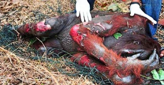 Gorilla verletzt wegen Palmöl