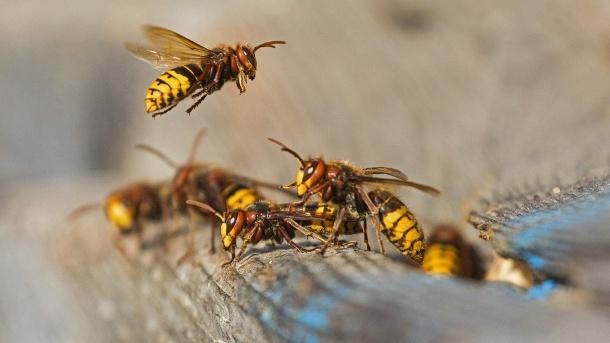 hornissen-an-ihrem-nest-Hornisse-