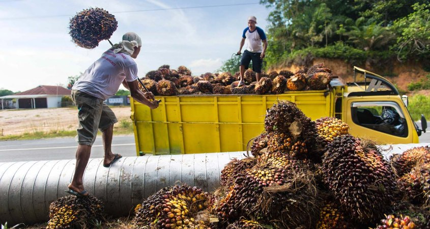 Palm Oil Harvest in Riau