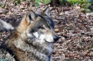 Wölfin ermordetjpg