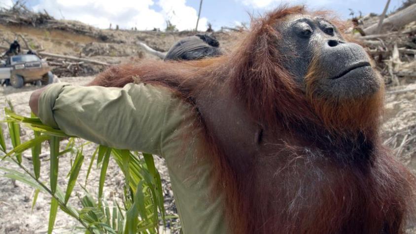 Affe, der aus Regenwald getrieben wird