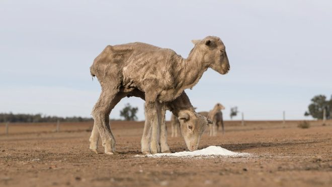 aus drought sheep