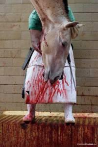 geschlachteter Pferde Kopf_n