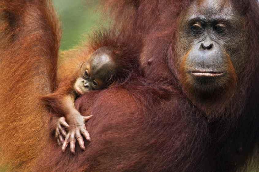 orang-utan-orang-utan-baby-borneo-pongo-palmöl