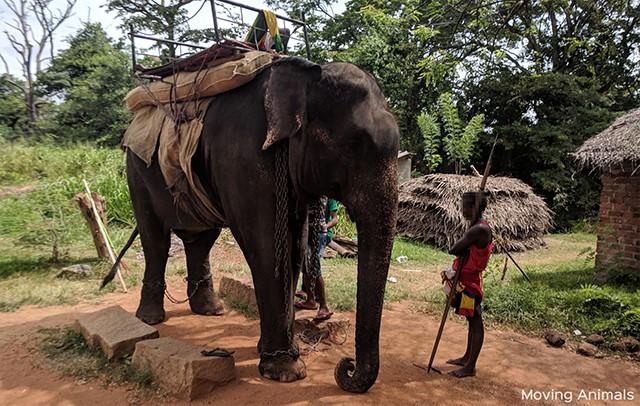 peta elephant ride 1