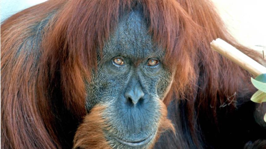 teletext-sumatra-orang-utan-der-welt-ist-tot-100~1920x1080