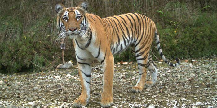 800-tiger-nepal 106fcf8c01