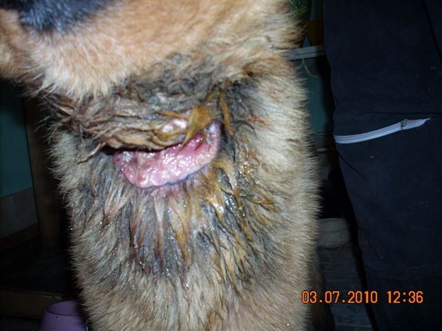 Dog from forest wire neck