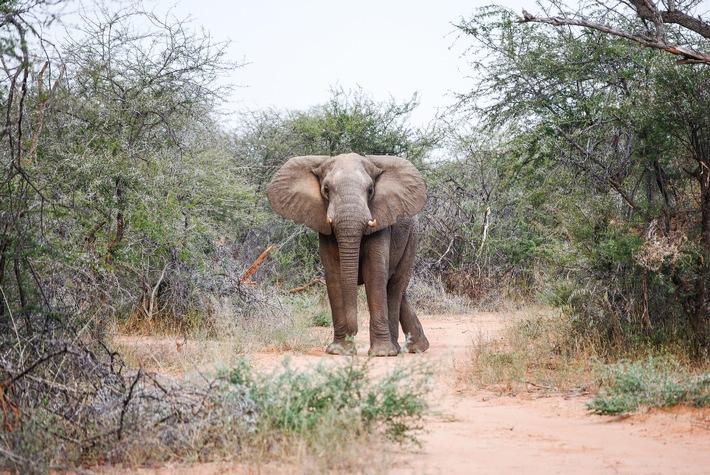 100 wilde Elefanten werden in Simbabwe umgesiedelt