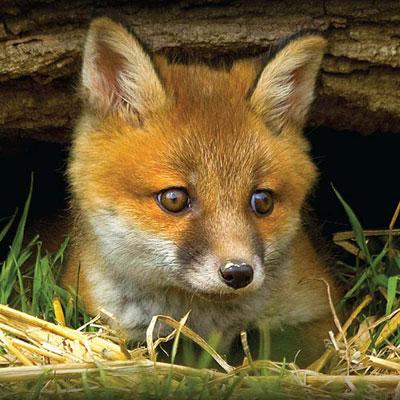 fox cub looking