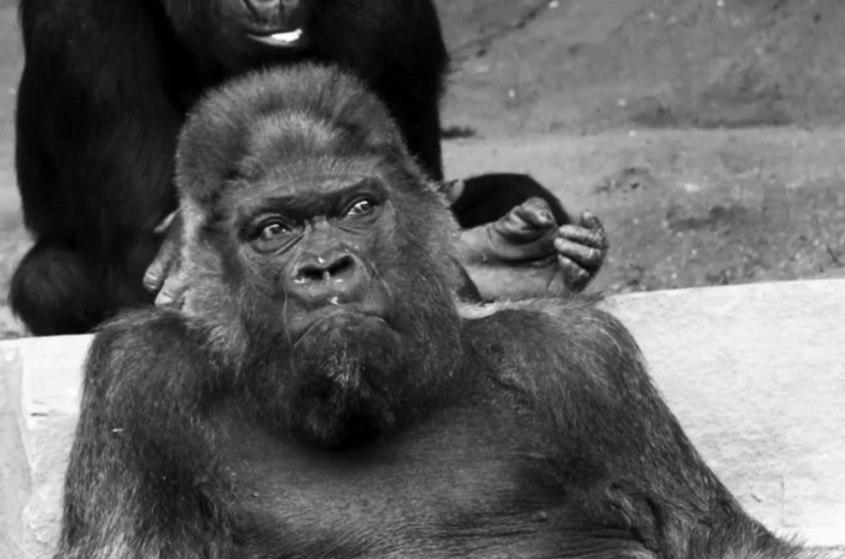 Gorilla-Fritz-gestorben