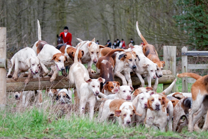 hunt hounds 1.jpg