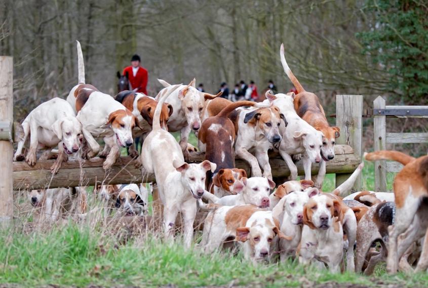 hunt hounds 1.jpg