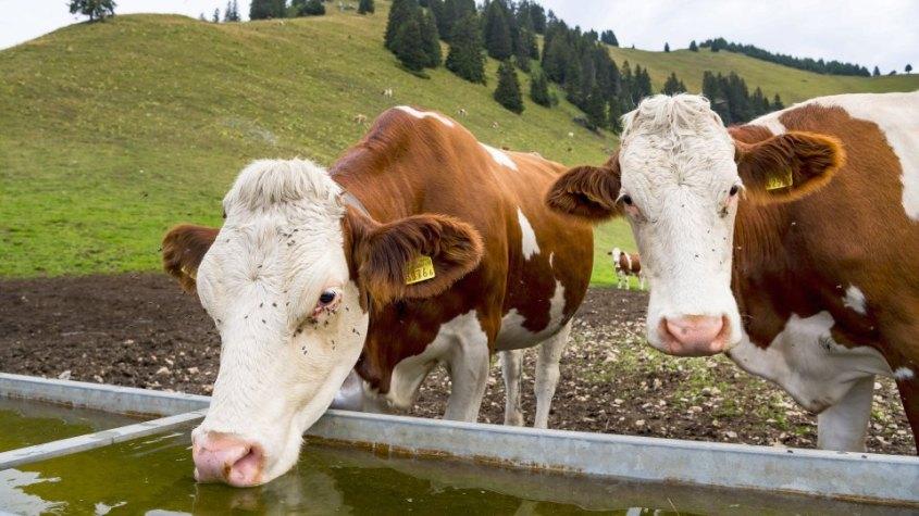 Kühen auf den Schweizerischen Alpen