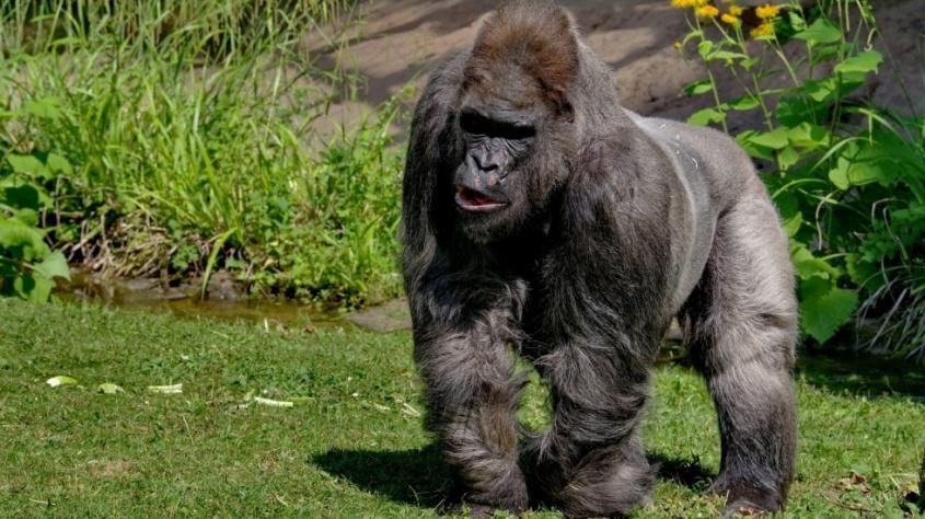 nuernberger-tiergarten-gorilla-fritz-ist-tot-mit-55-jahren-gestorben-997809