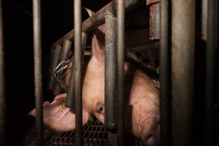 Schwein in Zelle_n