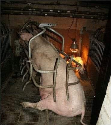 Schweinemutter in Kasten_n