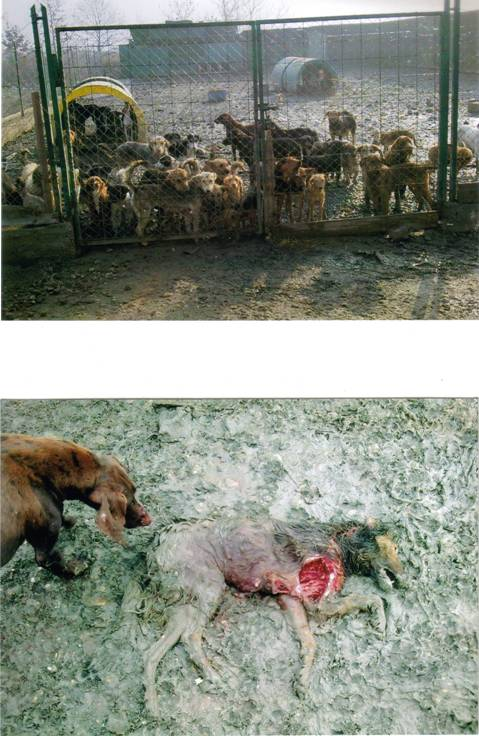 Serbia - stray dogs ready to be killed eat each other