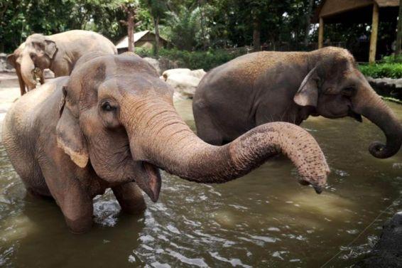 singapore zoo elephants