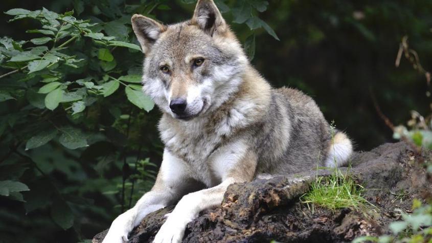 wolf-