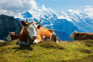 zwitserse-koeien-onbeweeglijk-op-schynige-platte-zwitserland-46898135