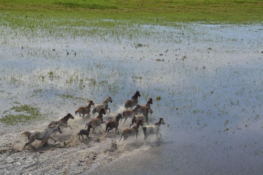 Australische-Wildpferde