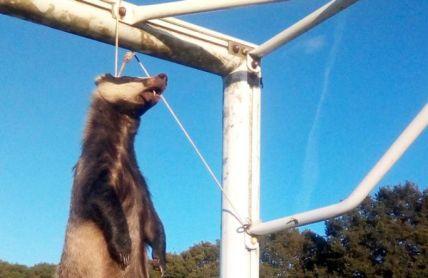 badger hung england