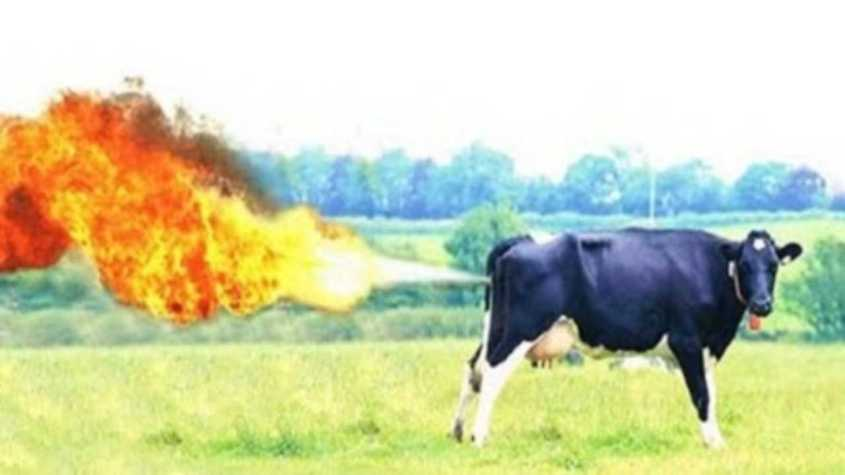 cow fart 1