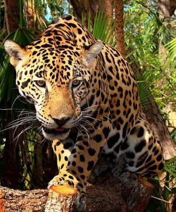 endangered jaguar belize