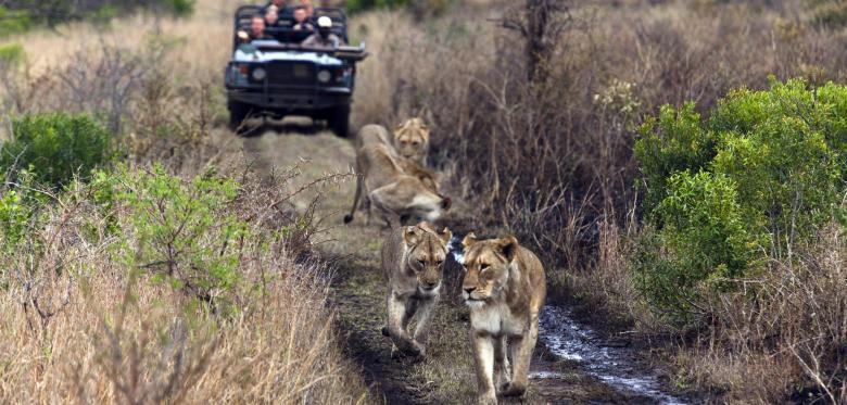 Löwen auf die Jagd