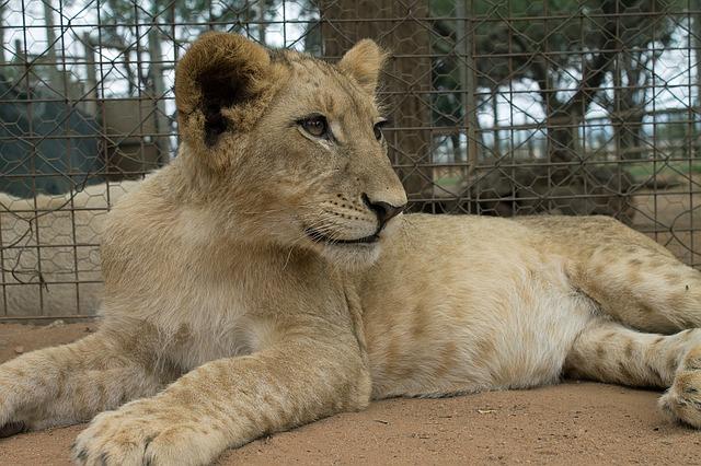 Löwenbabyjpg