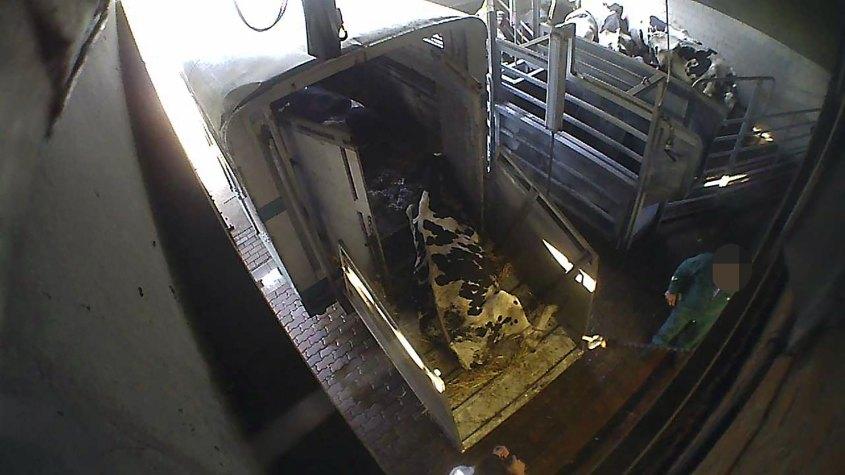 tieranlieferung von kranken Kühen im Hinterhofbetrieb-