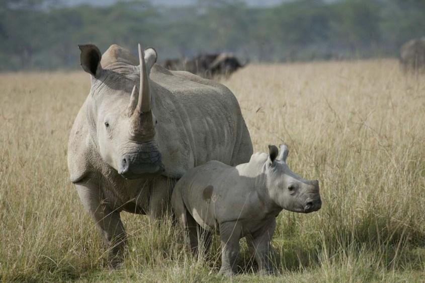 White-Rhino5