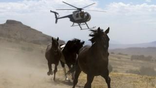 Wildpferde mit Helikopter gejagt