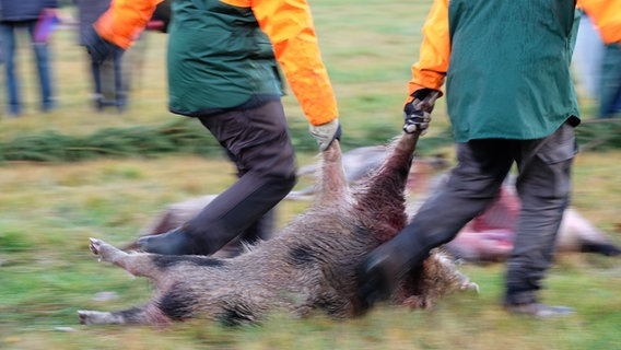 Wildschwein wird geschleppt