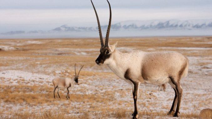 Antilope.Tibet Sorte pg