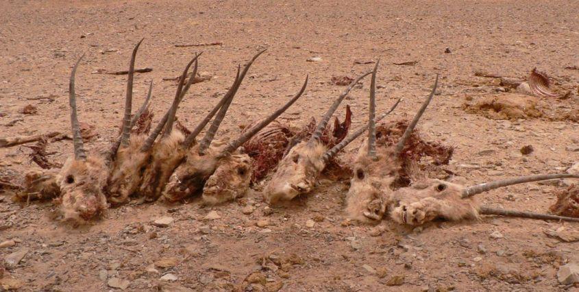 Antilopen., tot wegen Fell jpg