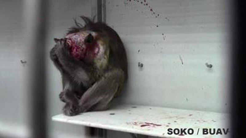 Blutverschmierter Affe MPIjpg