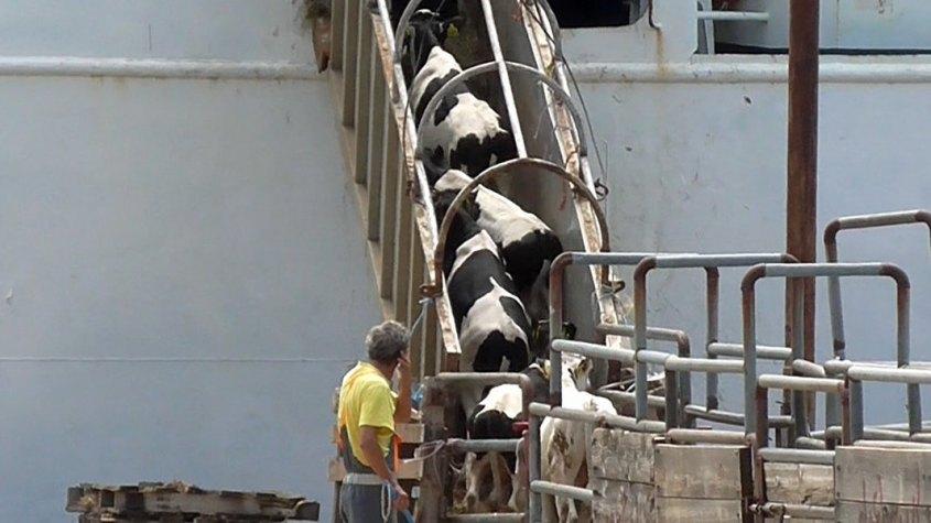 schiffstransport mit Kühenpg