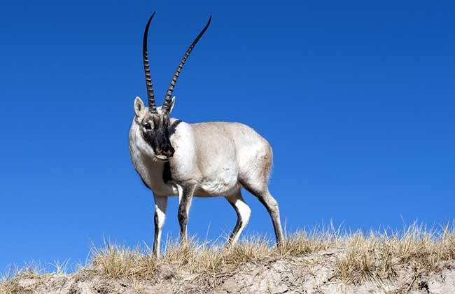 Tibet Antilopejpg