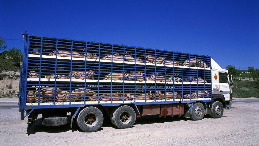 tiertransporte-LKW mit Schweinejpg