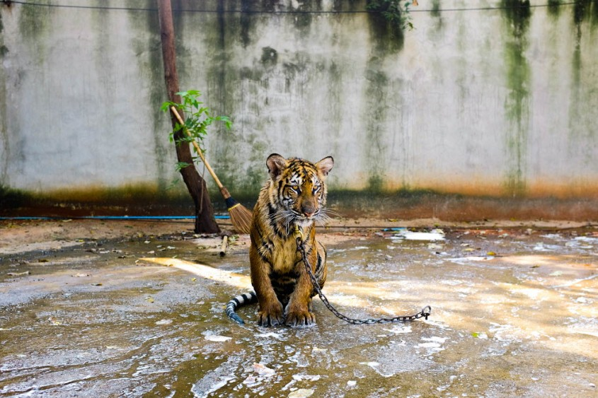 Tiger-Jo-Anne-McArthur-We-Animals