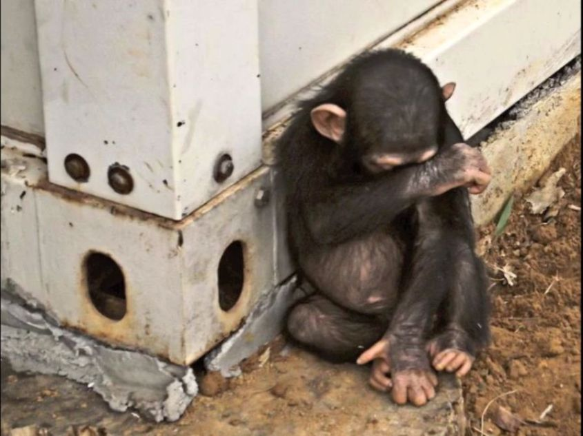 Affe gefangen für Handel jpg
