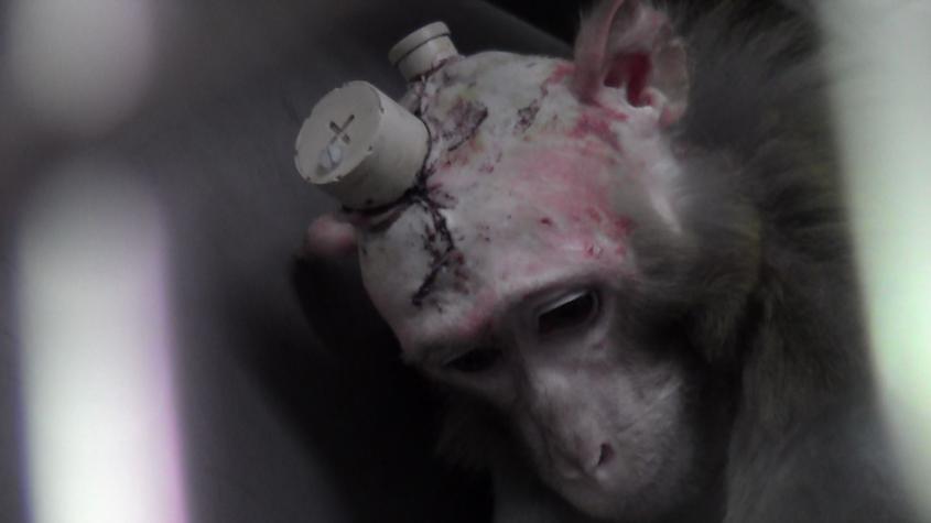 Affe mit blutigem Kopfpng