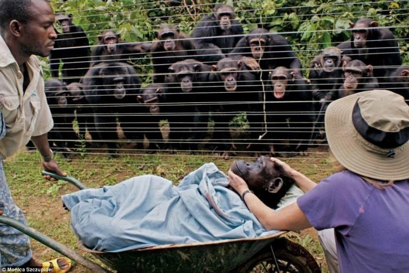 Affen, die um ihre verstorbene Äffin weineno
