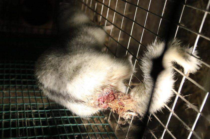 Finnland-weisser Fuchs mit abgeschnittenem Schwanz